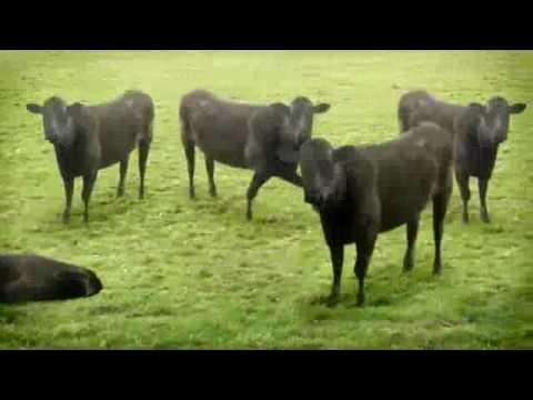 VnExpress Đàn bò nhảy múa Dan bo nhay mua