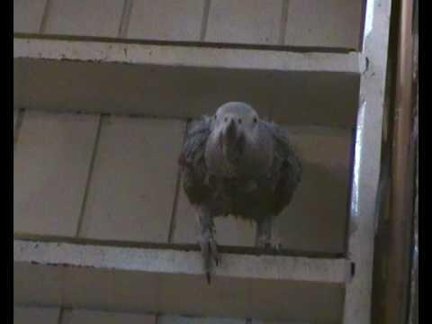 perroquet gris gabon parle chante rit talking laughing parrot.MP4