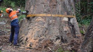 80m Tree Removal