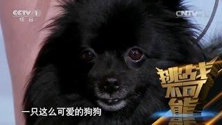 [挑战不可能(第一季)] 总决赛:狐狸犬现场催眠15位观众 挑战前培训过程全揭秘