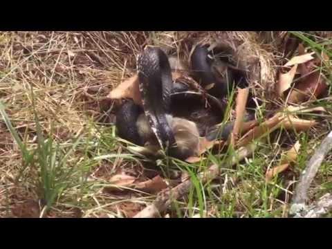 Rabbit Vs Snake.  Momma Rabbit save babies - Original Video