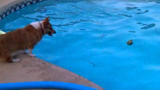 CORGI-Boots jumping in pool