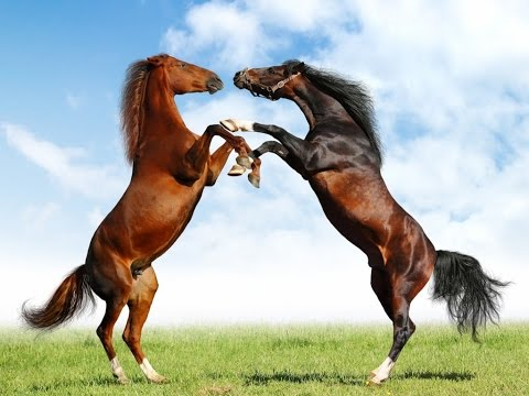 Xxx Mp4 Horses Full Documentary With Subtitles 3gp Sex
