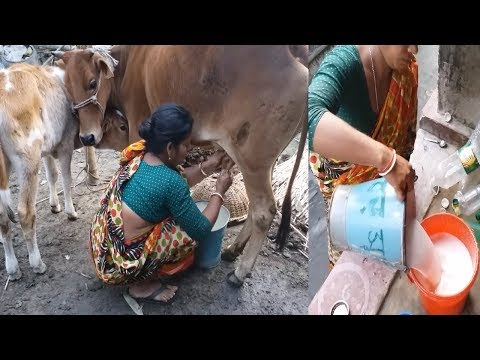 Xxx Mp4 Dairy Milk Collected By Village Woman Milk A Cow By Hand Whole Milk From Cow Farm Organic Milk 3gp Sex