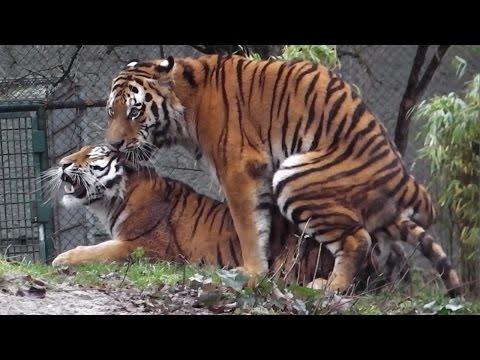 Xxx Mp4 Sibirische Tiger Ahimsa Und Jegor Ttierpark Hellabrunn 3gp Sex