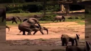Elepant Mating