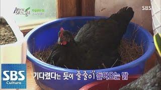 가정분만하는 닭, 대체 왜? @순간 포착 세상에 이런 일이 140731