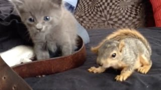 Optical illusion Kitten and baby squirrel meet