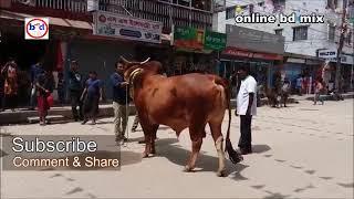 গরুর দাম ১২ লক্ষ টাকা !!! Qurbani Cow Price 12 Lakhs Taka HD