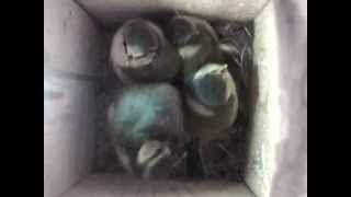 Blue tits birth, hatching, flying out