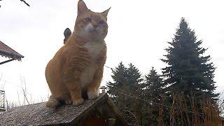 Munchkin Cat Jumping Skills