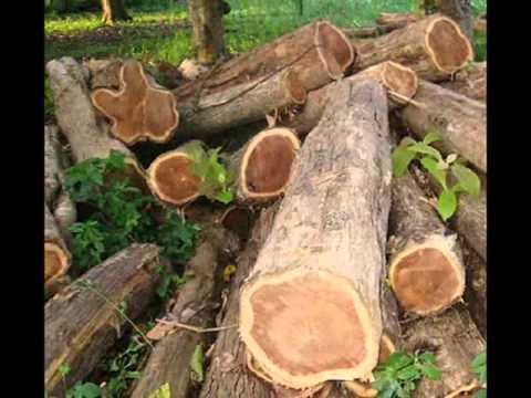 Teakwood - Teak, Black wood, Siamese Rosewood, Rosewood - Agarharvest