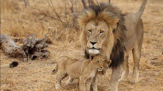 Documentary lion: lion africa predators  - Animal Film genre