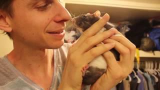 Rat Pets | Fancy Domestic Rat