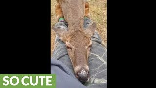 Wild Deer Preciously Falls Asleep In Person's Lap