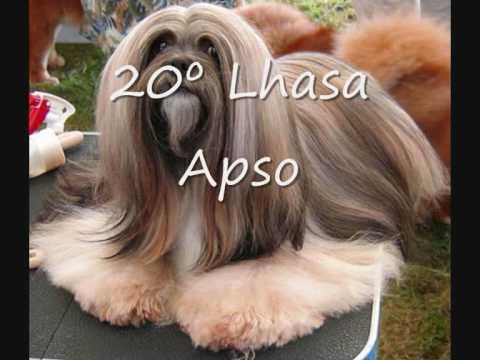 Top 30 Raças de Cães