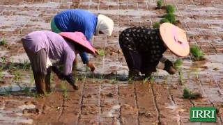 IRRI Video: Rice is Life in Asia