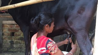 How to milk cow by hand by a village woman | Milking big cow by hand | Village Life