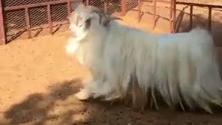 Very rare breed of goat    khubsurat nasal ki bakri