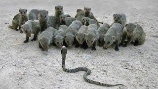 সাঁপে  নেউলে মারামারি!!। কে জিতবে?? snake vs mongoose?? real fight!!!