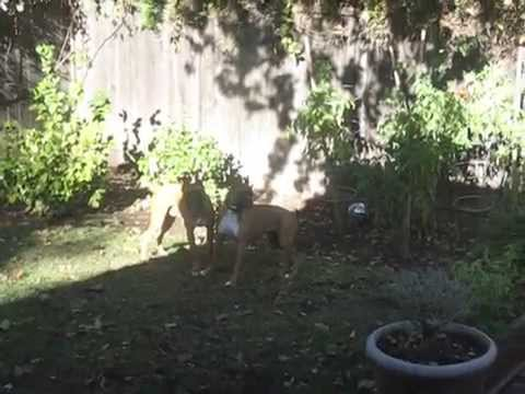 2 Boxers Playing together up for adpotion from NCBR Northern California Boxer Rescue