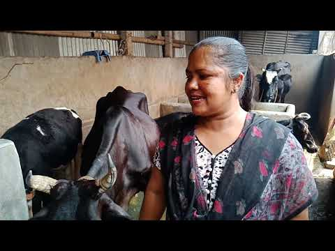 Xxx Mp4 গাভী কিনতে কি বিপদেই না পড়লেন এই নারী বর্তমানে লক্ষ টাকা আয় করছেন খামার থেকে। Cow Farm 3gp Sex