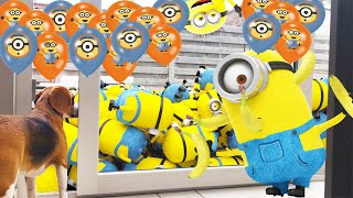 Cute Dog Surprised with 100 MINION BALLOONS!!