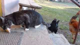 Kot i kury - Walka o kiełbasę