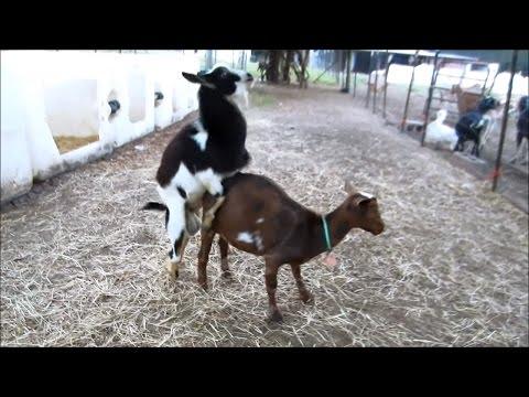 Nigerian Dwarf Goat Successful Breeding with Hunch Behavior