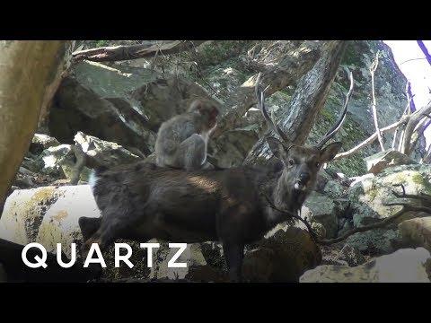 Monkeys are practicing sex on deer