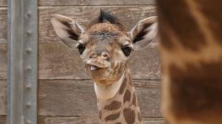 Second Baby Giraffe in Two Weeks!
