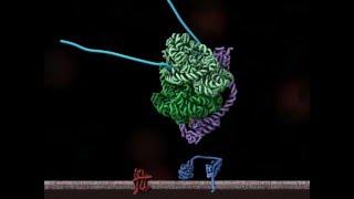 Translocation cotraductionnelle des protéines  dans le réticulum endoplasmique