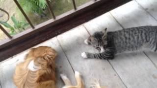 Tha cat follows the dog