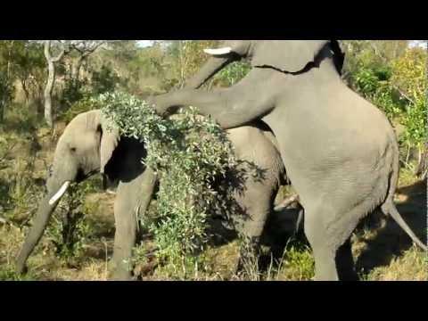 Gay Elephants Doin' It - Rare Footage