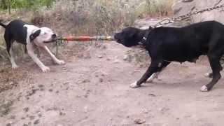 Apbt Game dog Nina Ve Sekiz(anne oğul)