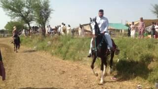 Pakistani horse.. Ghora sajjal