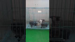 Persian kittens || play mode activated ||
