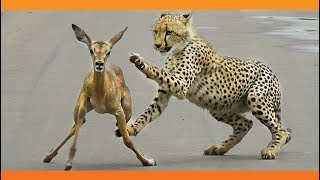When the Cheetah Tries to Eat the Lamb