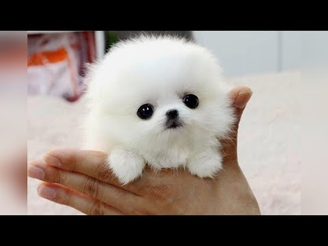 Xxx Mp4 The SMALLEST DOG BREEDS In The World 3gp Sex