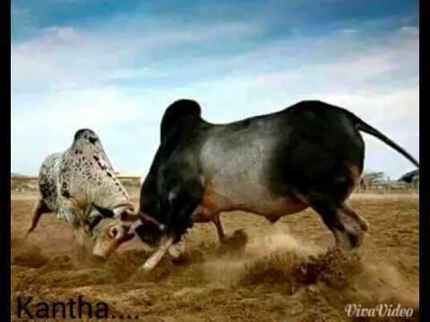 Kantha Bull hori habba masur om