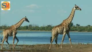 world of giraffee