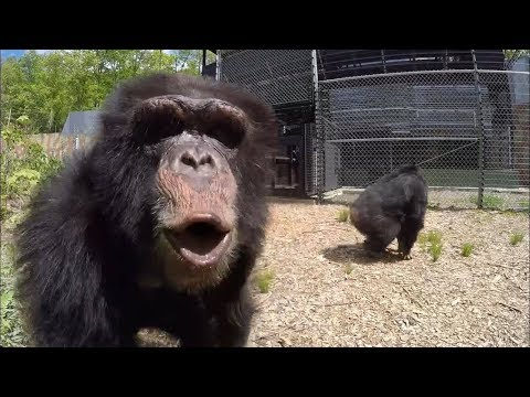 Former Research Chimps go Out in a Forest for the First Time