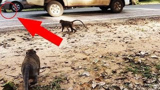 Oh Car Run Over Baby Monkey To Nearly Die,Baby Monkey Broken Leg Crying Very Loudly​​​​,MT ST 308