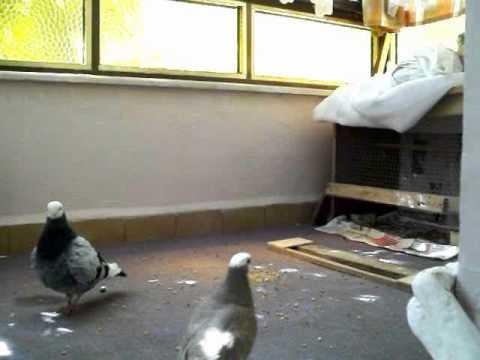 güvercinler çiftleşiyor yeni aldıgım mavi baska