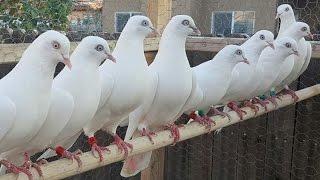 Pigeon Kit Loft Bangladesh (V-2)