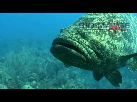 Goliath grouper attack El mero gigante