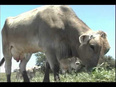 Pastoreo intensivo tecnificado Buenas prácticas de producción de leche de vaca 3 6