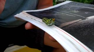 Jay and a Caterpillar