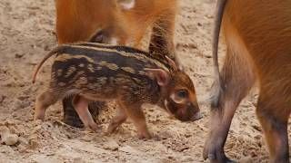 Red River Hog Baby