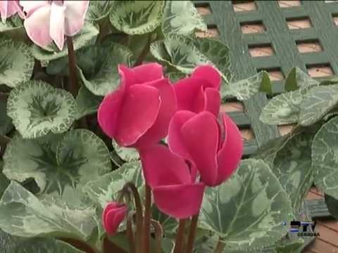 El jardinero en casa Plantas bulbosas